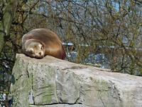 Ein Mittagsschläfchen in der Sonne: Seelöwe im Zoologischen Stadtgarten